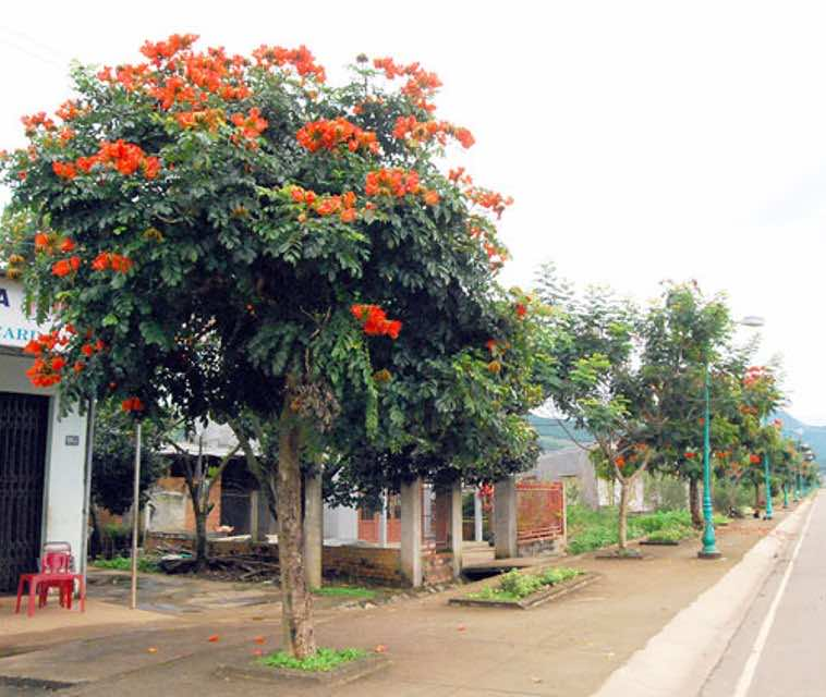 trồng cây sò đo cam