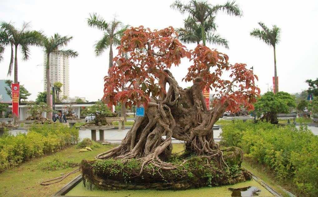 Cây sộp đỏ bonsai