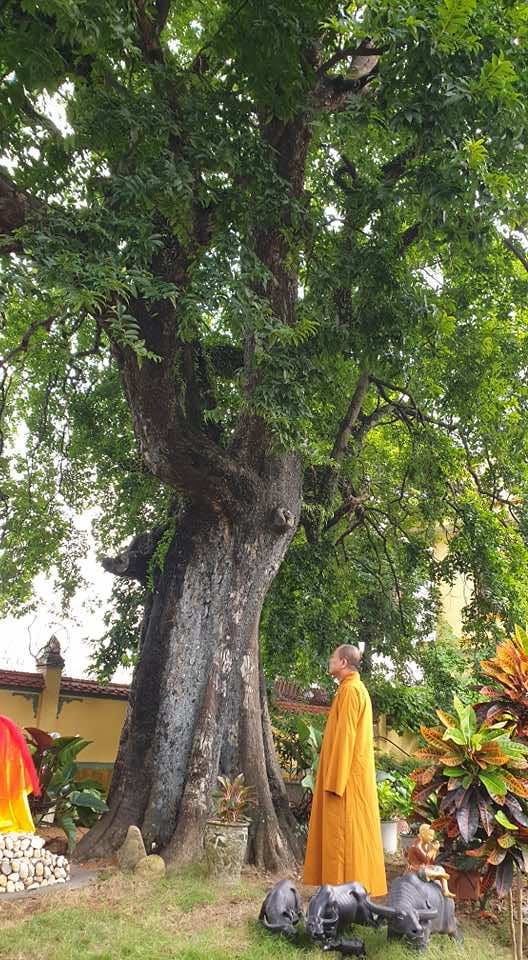 Cây thị thường được trồng trước chùa, đền