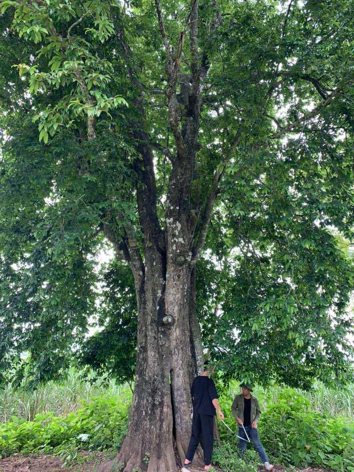 Thị là loại cây thân gỗ lâu năm