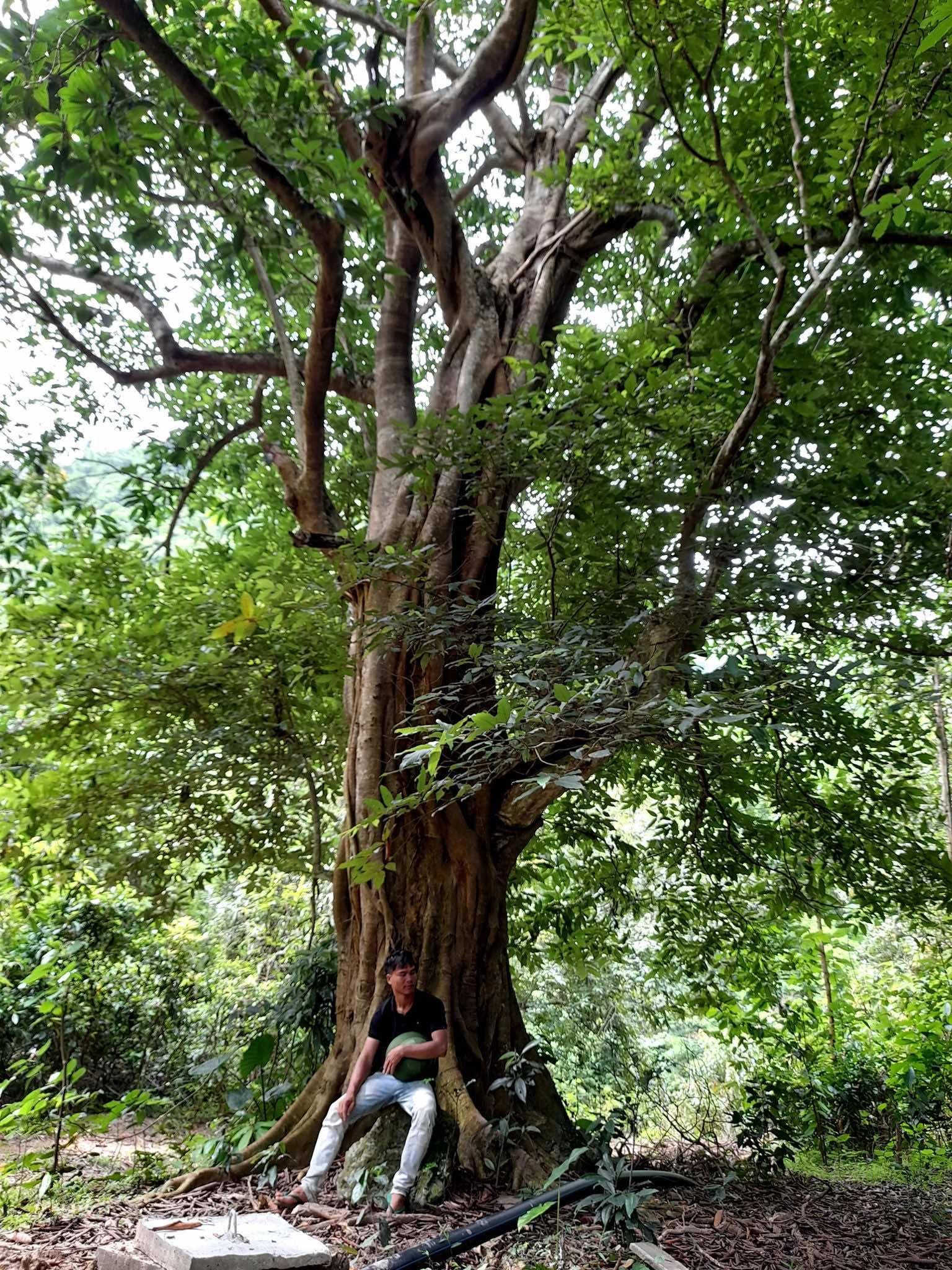 cây sộp cổ thụ