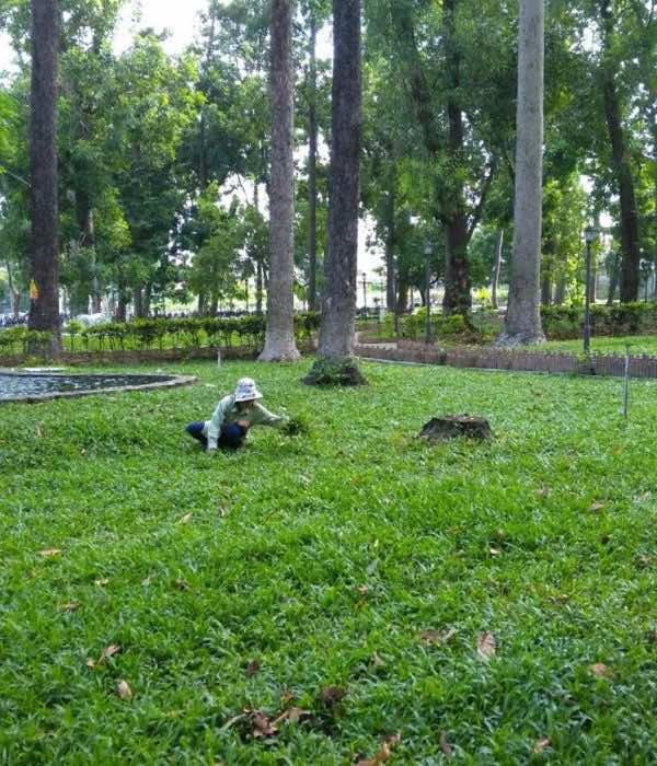 Chăm sóc thảm cỏ lá gừng