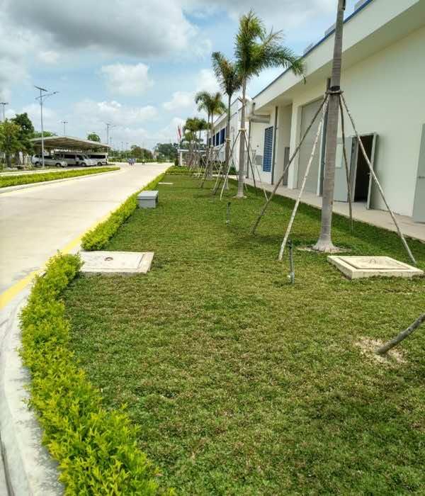 Trồng cỏ lá gừng trong các công trình