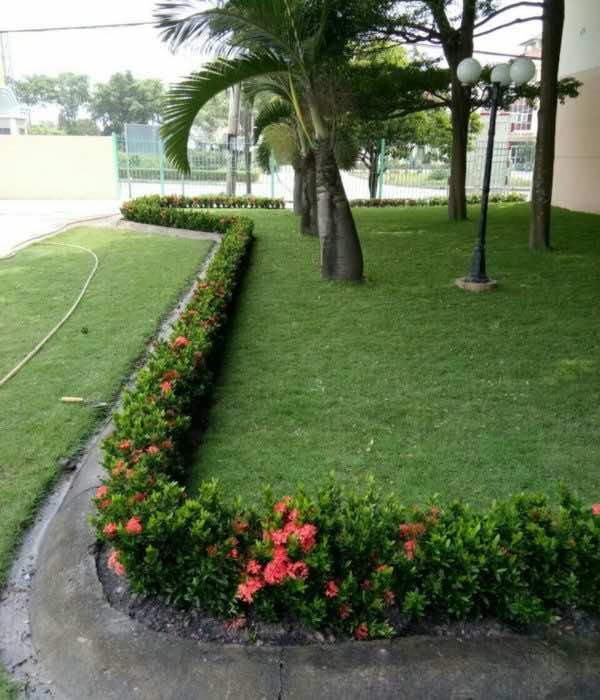 Cỏ nhung nhật trồng thảm