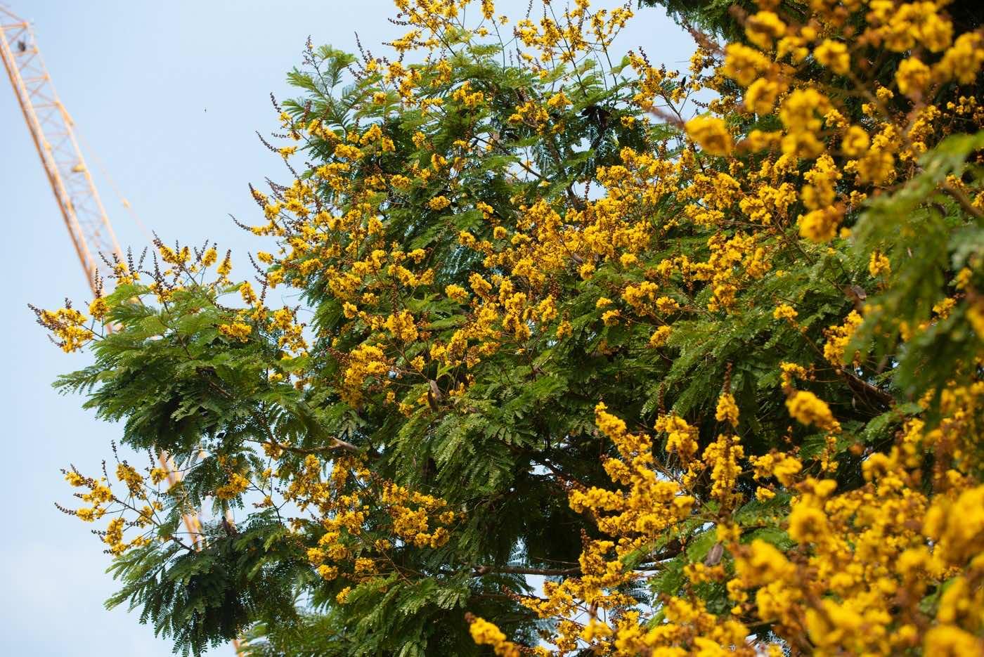 Cây điệp vàng nở hoa