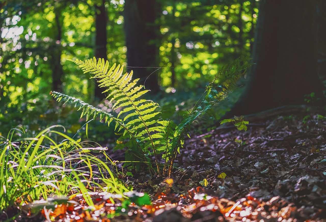 Dương xỉ là loại cây thân rễ