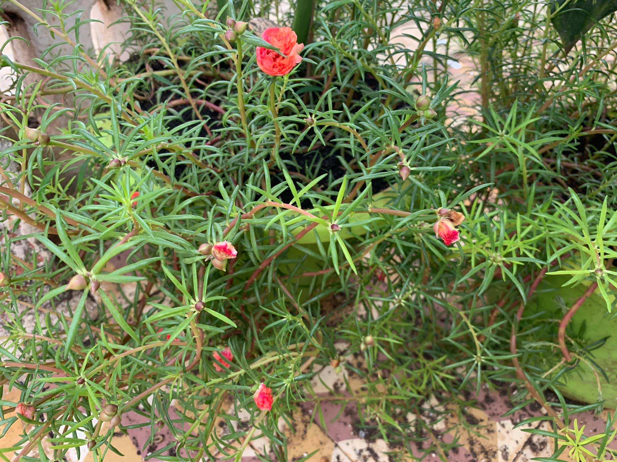 Hoa mười giờ là loài cây ưa nắng
