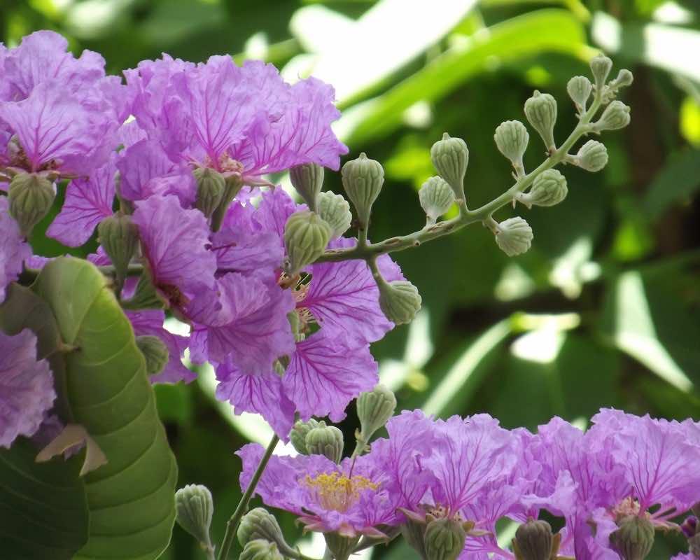 Hoa và quả bằng lăng tím