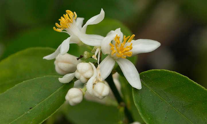 Hoa chanh nở suốt 4 mùa trong năm