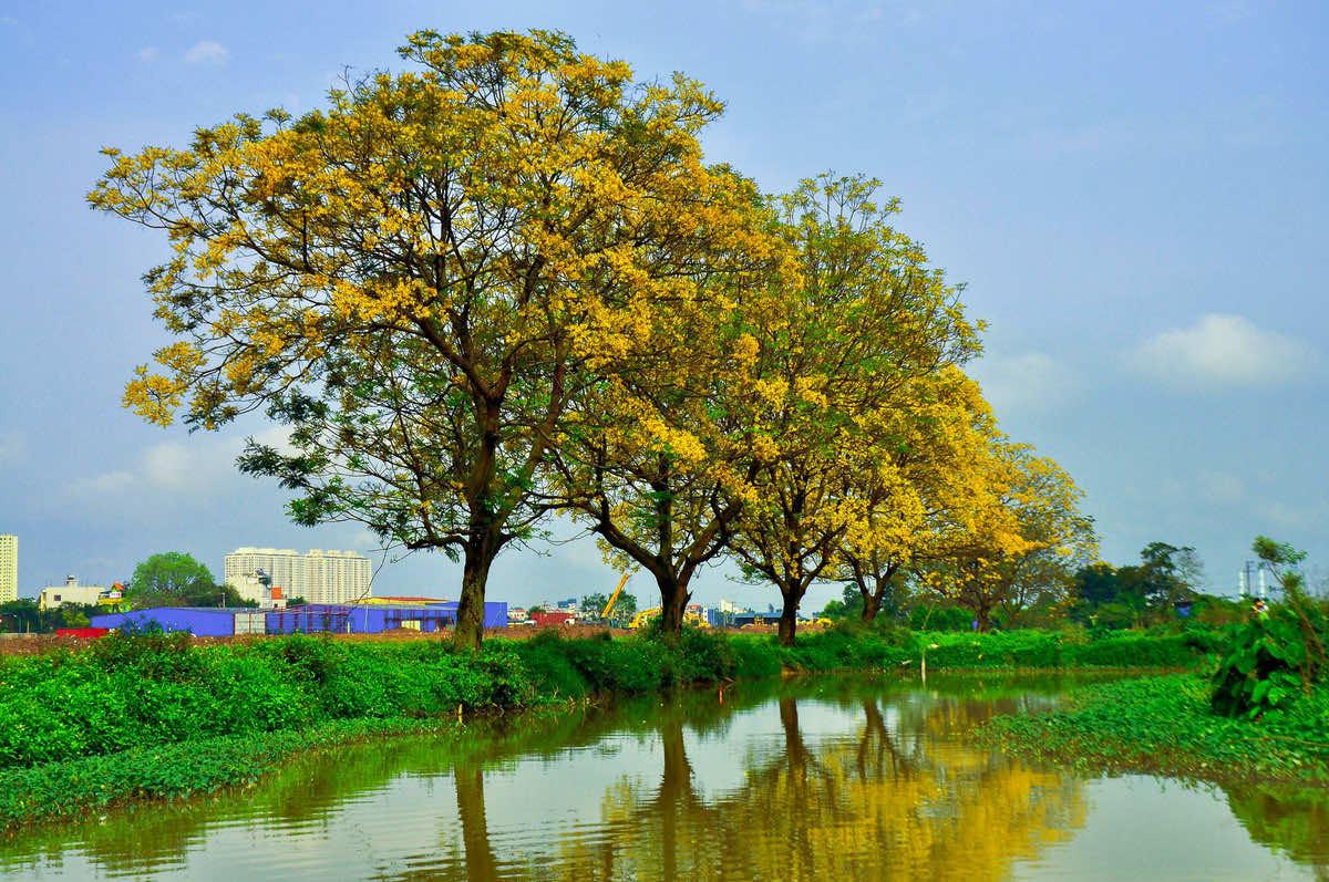 Cây điệp vàng mùa hoa nở