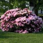 Cây hoa đỗ quyên trồng trong biệt thự sân vườn