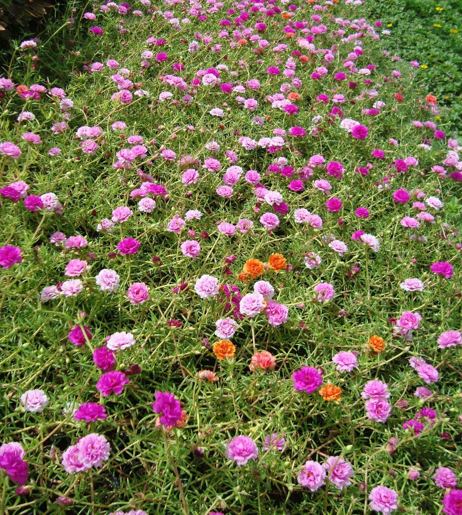 Hoa mười giờ giúp tô điểm cho ngôi nhà thêm xinh