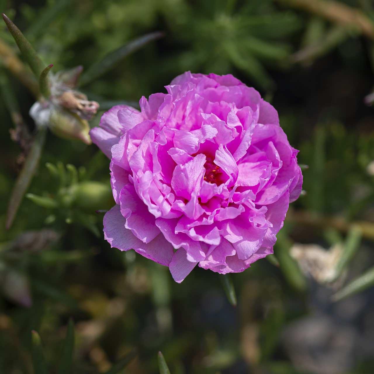 Hoa mười giờ thường nở vào lúc 8-10h sáng