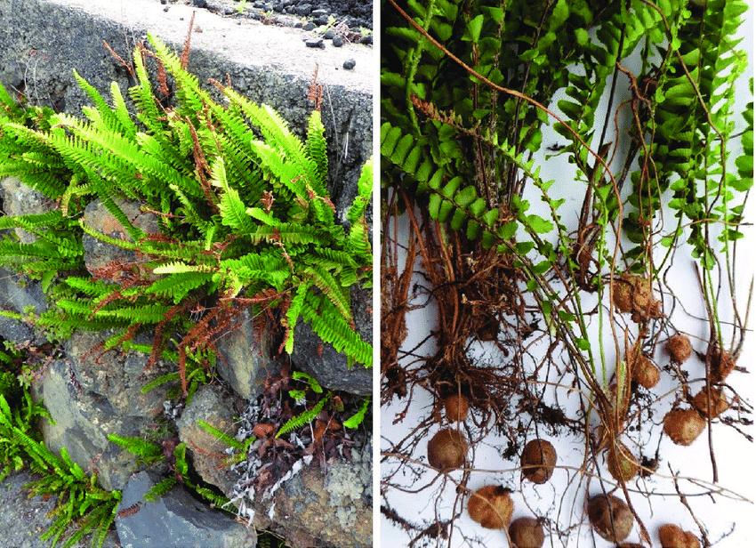 Rễ cây dương xỉ bám vô cùng chắc chắn