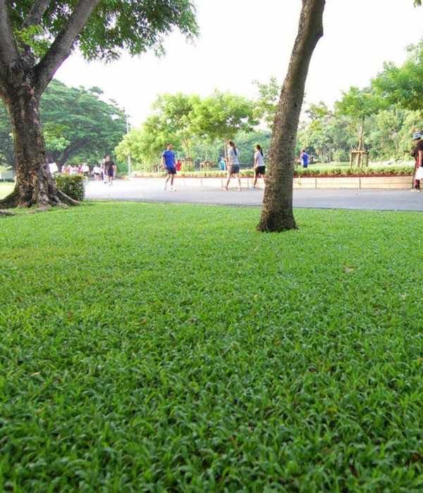 Cỏ lá gừng trồng trong công viên