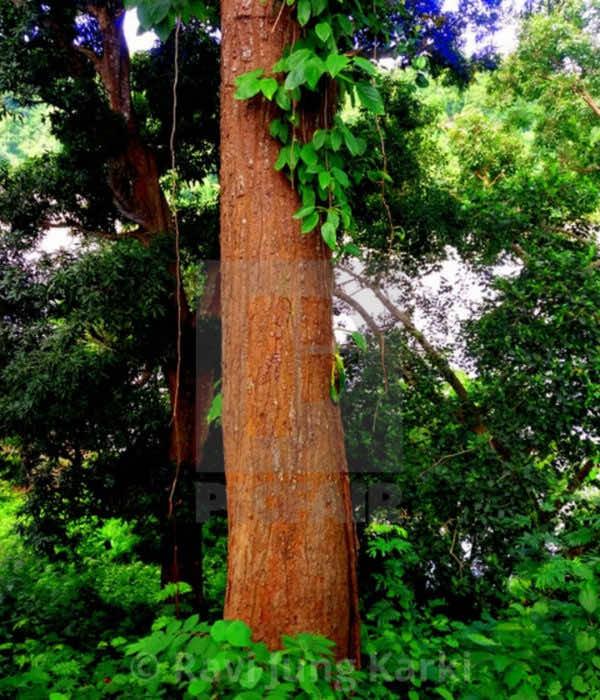 Thân cây sala