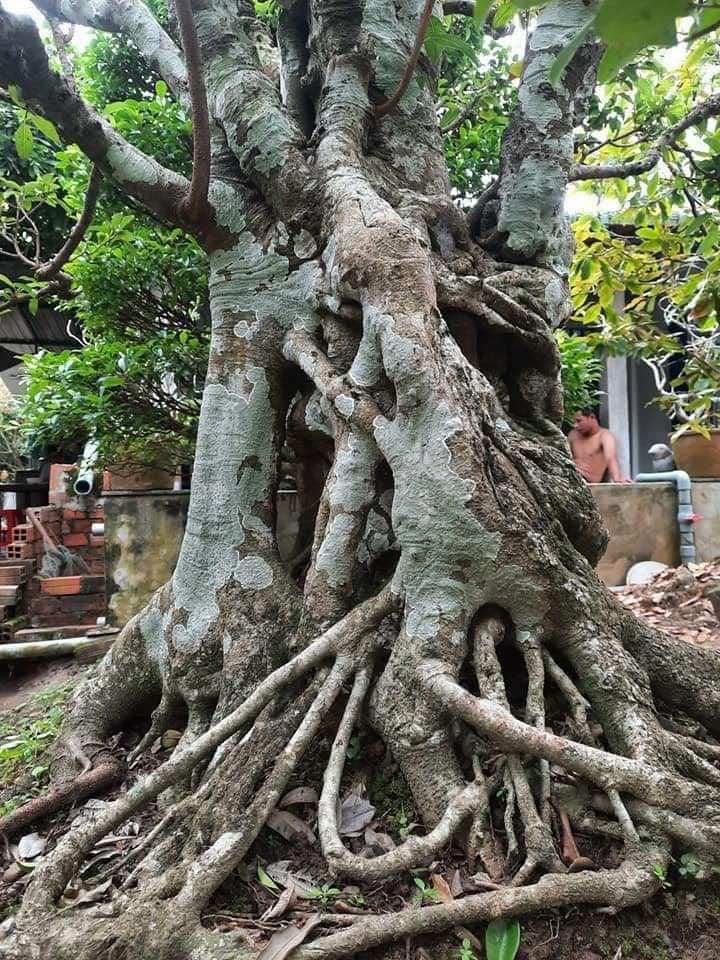 thân cây sộp