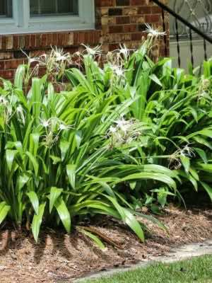 Cây bạch trinh biển trồng trong khuôn viên vườn nhà