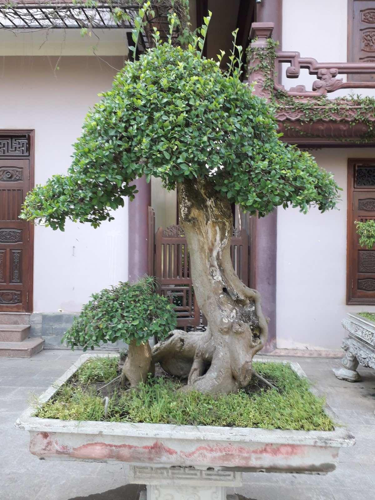 Trồng cây duối trong nhà
