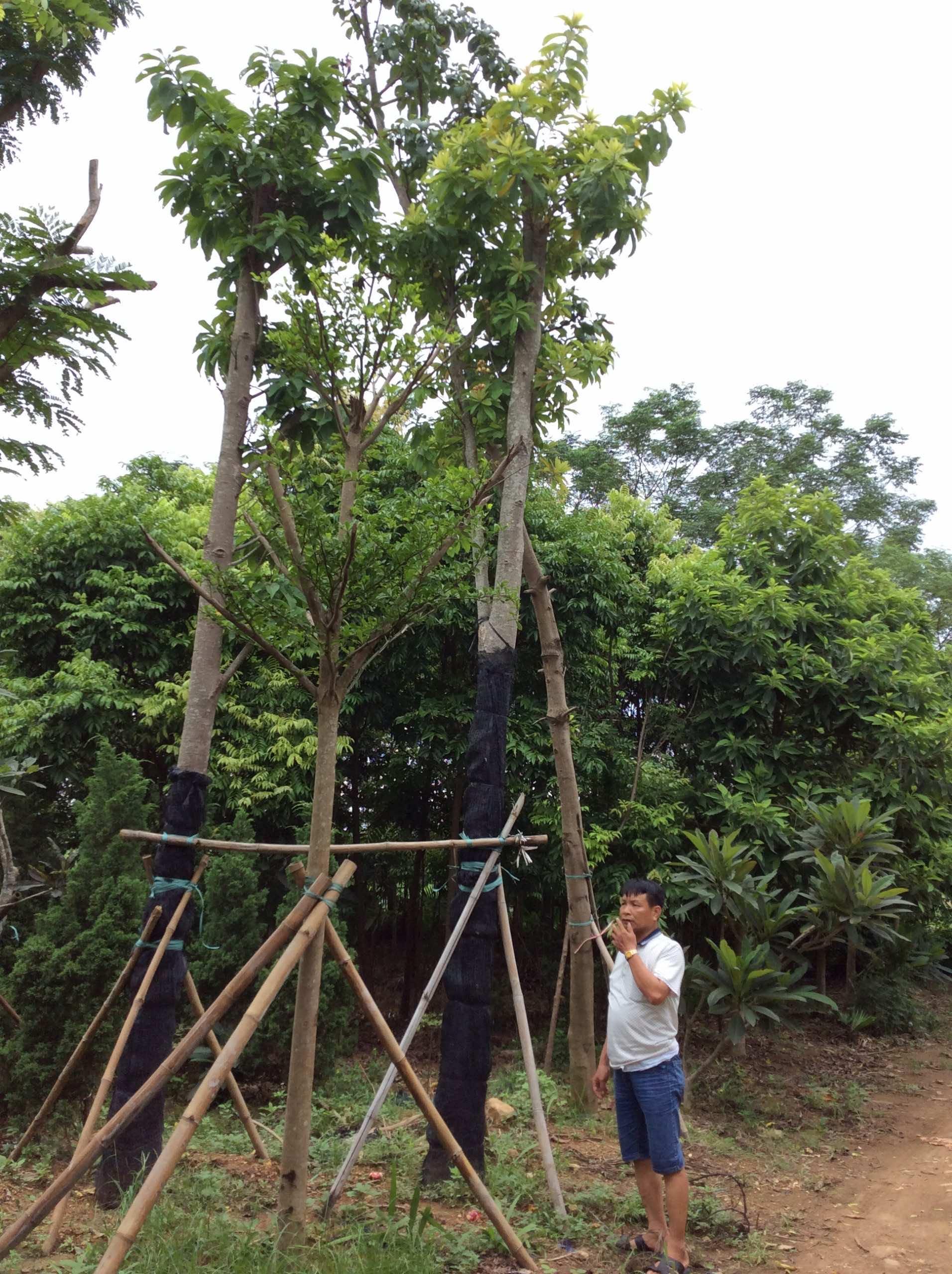 Trồng cây sala công trình