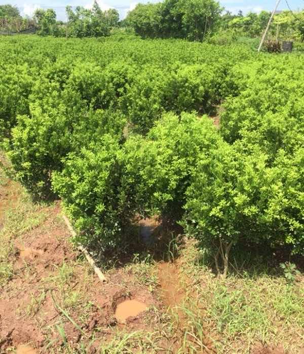 Trồng cây ngâu tại vườn