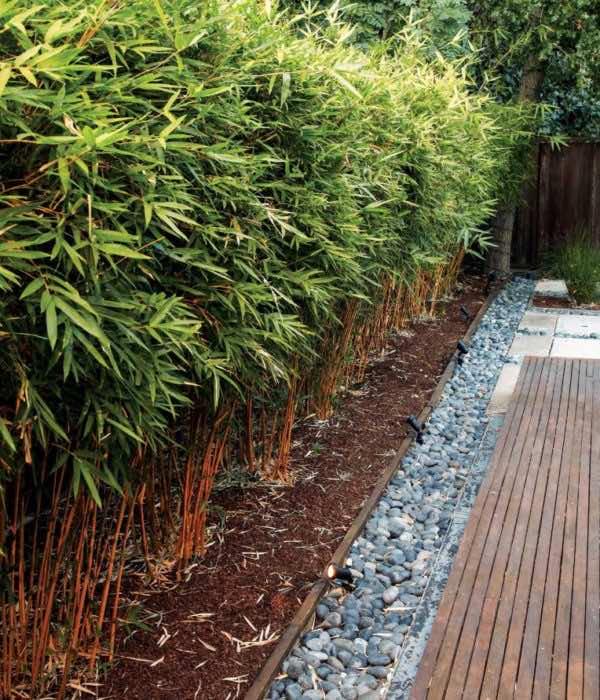 Trúc quân tử trồng rào trước nhà