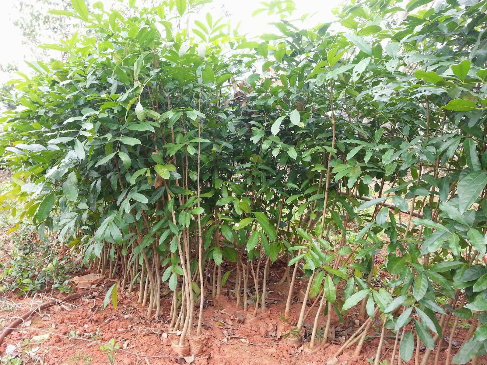 Cây xà cừ giống tại vườn ươm