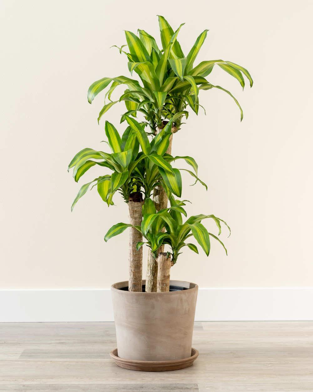 Trồng cây thiết mộc lan trồng chậu nhỏ trong phòng