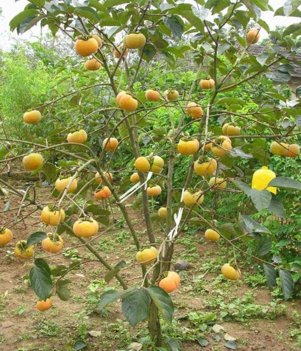 Hồng ngâm ăn quả