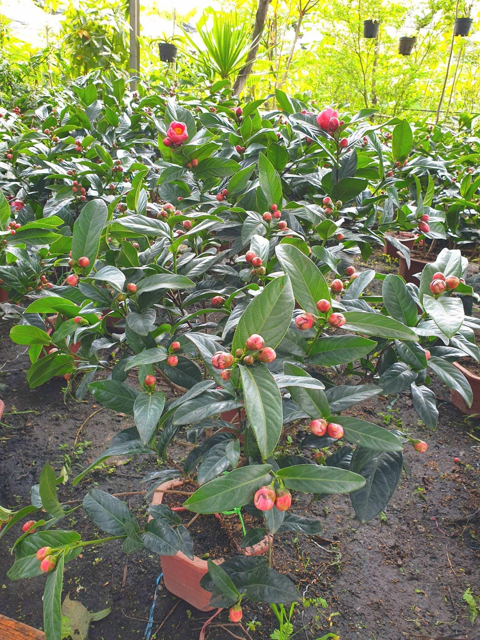 Chăm sóc cây hoa hải đường