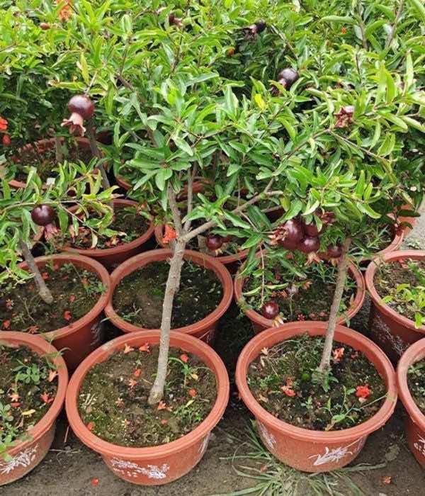 Bán cây lựu giống