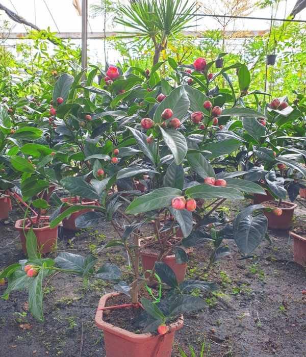 Bán cây hoa hải đường