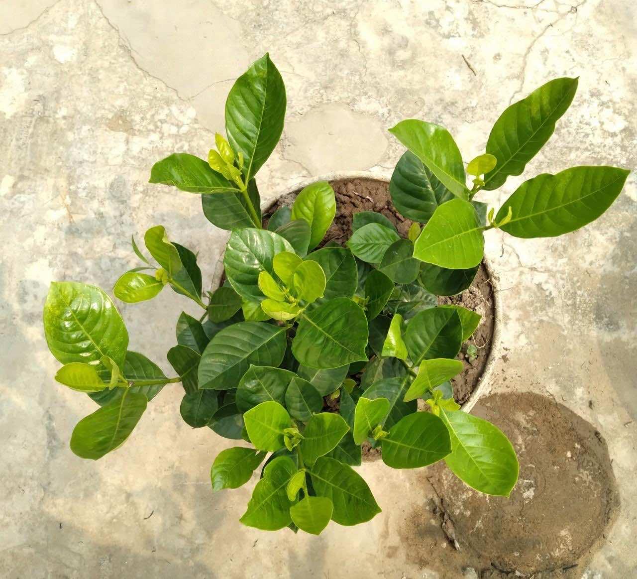 Bán cây bạch thiên hương có sẵn tại vườn