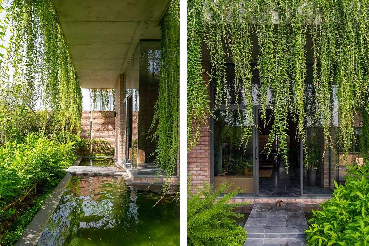 Trồng cây mành trúc trong nhà