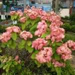 Cây én hồng
