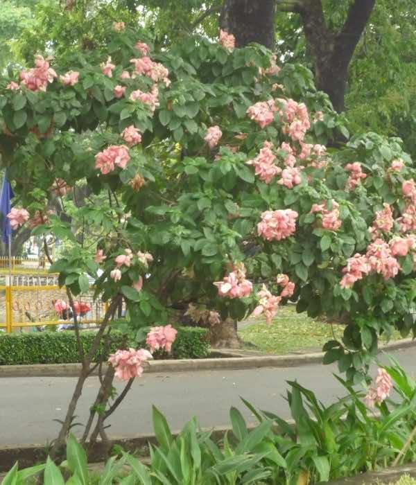 Én hồng trồng cảnh