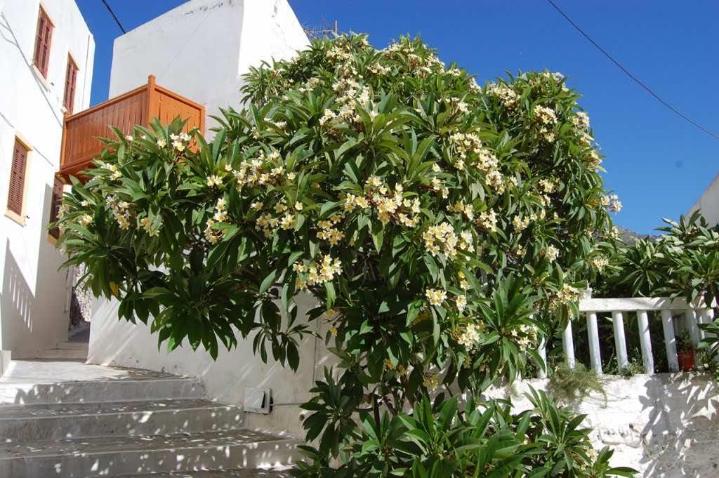 cây đại đẹp