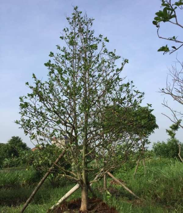 Dâm ủ cây mai tứ quý