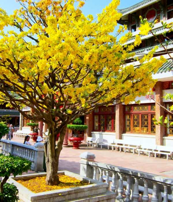 Cây mai vàng nở hoa