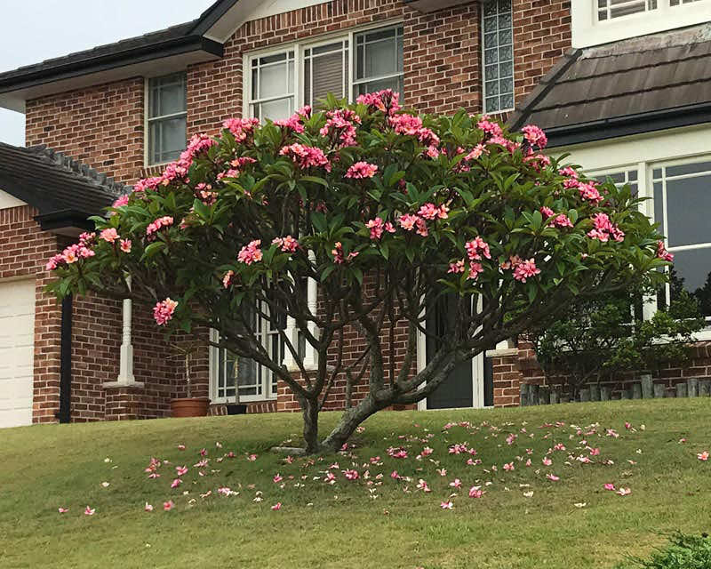 Cây đại đỏ nở hoa đẹp