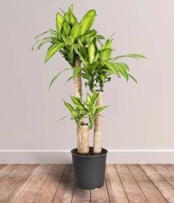 Cây thiết mộc lan trồng trong nhà
