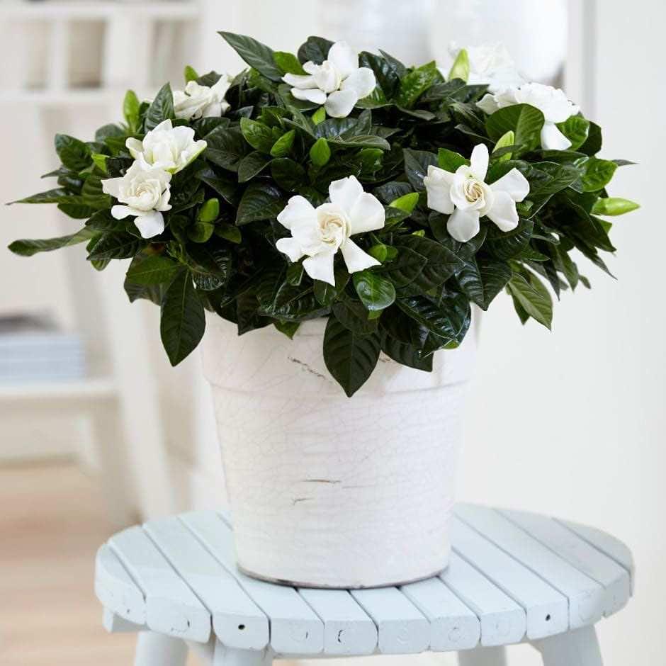 Hoa bạch thiên hương đẹp