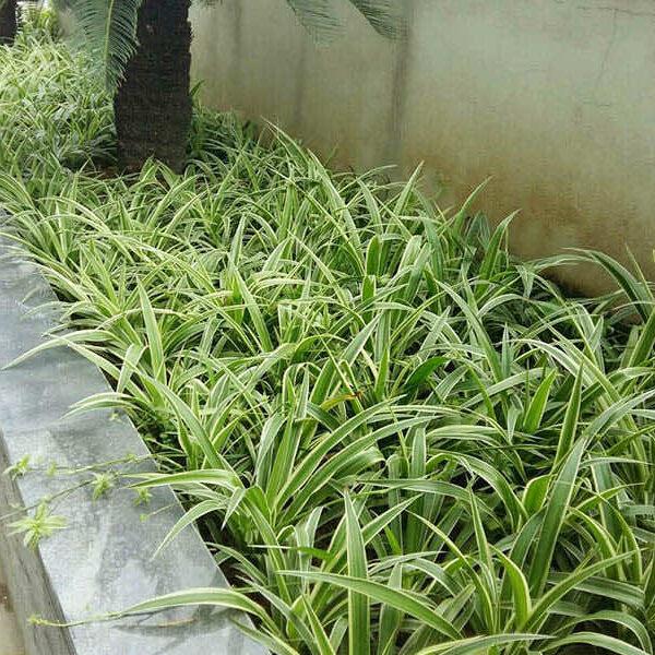 Cỏ lan chi trồng bồn