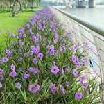 Hoa chiều tím nở