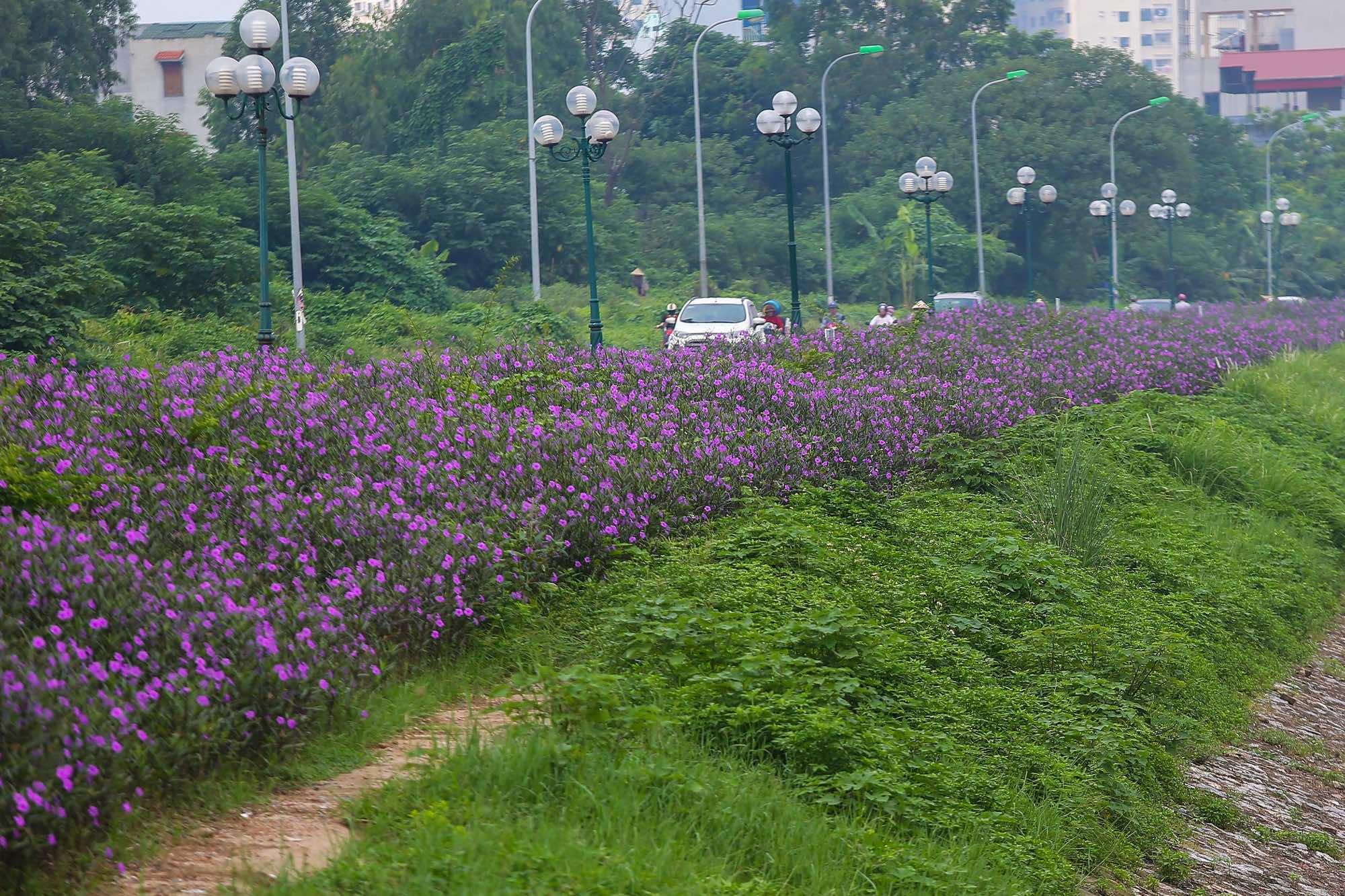 Chăm sóc cây hoa chiều tím