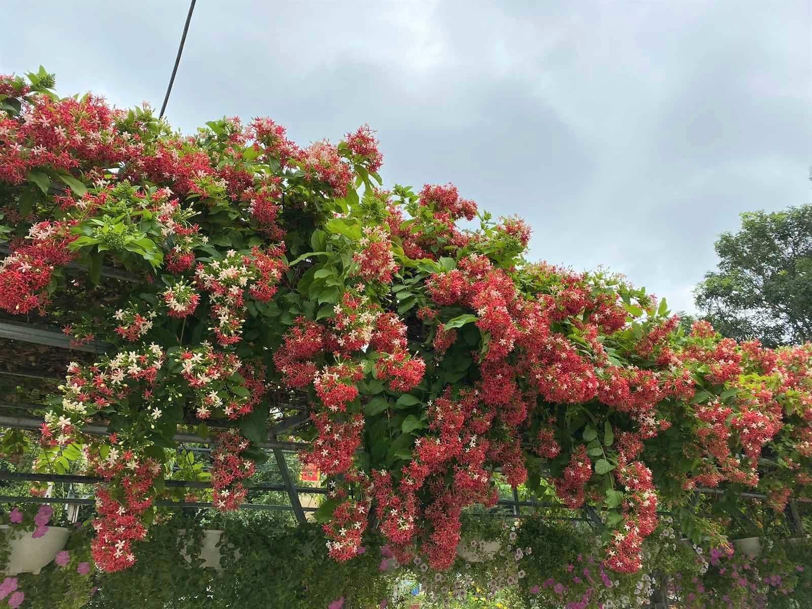 Mùa hoa sử quân tử nở