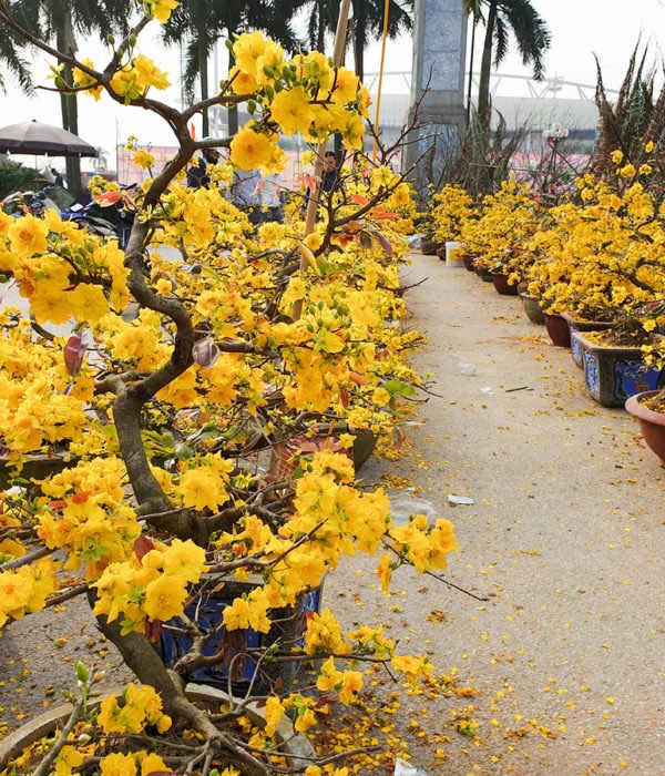 Bán cây mai vàng giá rẻ