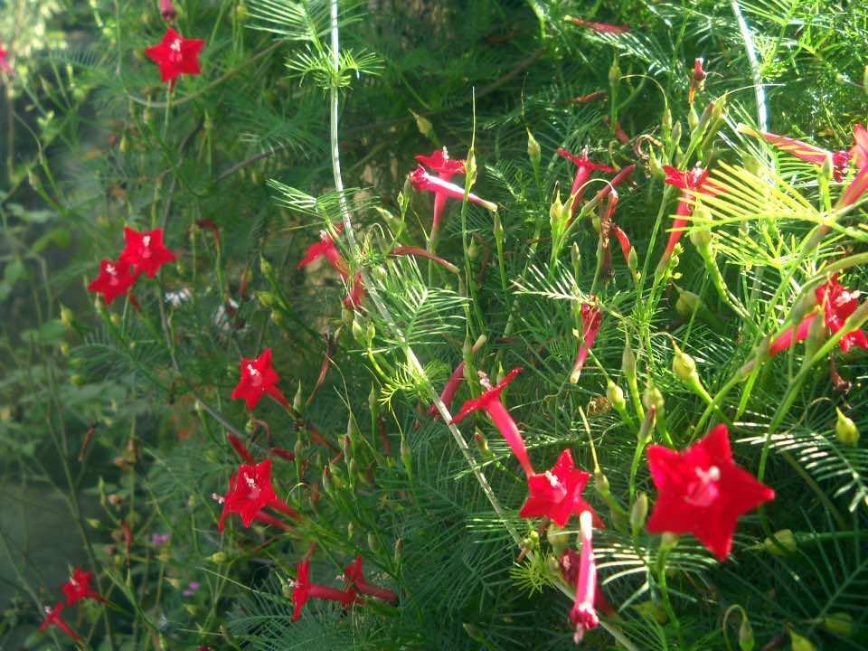 Tóc tiên hoa đỏ