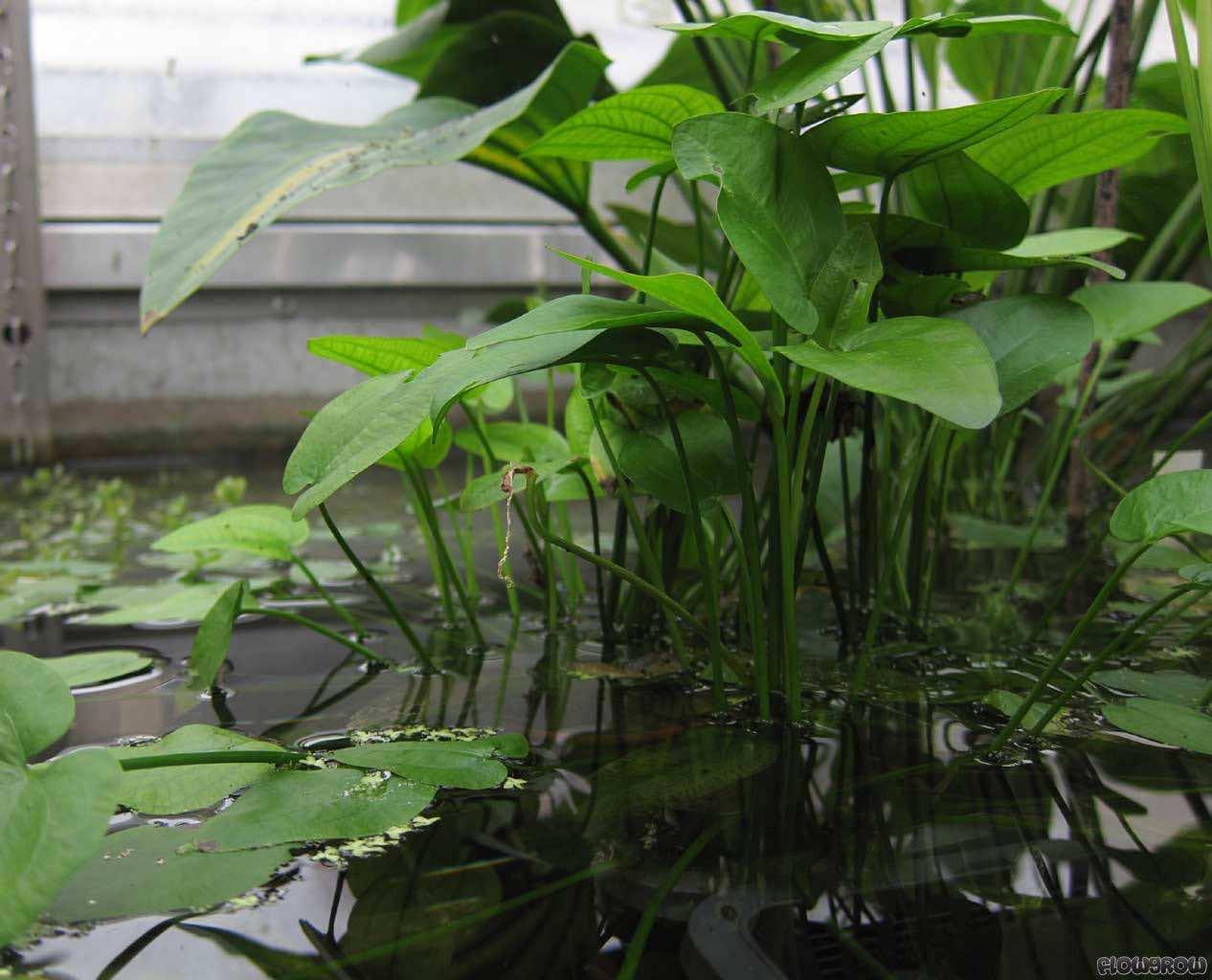 trồng cây bách thủy tiên trong nước