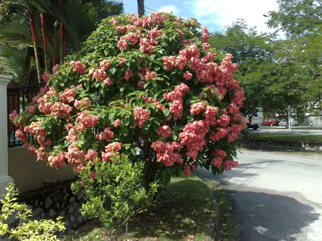 Bụi cây én hồng